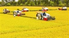 Lagriculture reste le socle de léconomie de Trà Vinh