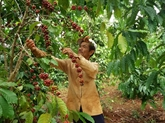 Le Vietnam vise dici 2030 6 milliards de dollars dexportation de café