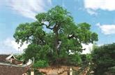 Aux racines de lhistoire, le camphrier de Bac Giang