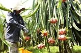 LAustralie ouvre sa porte aux fruits du dragon frais du Vietnam