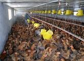 Le Vietnam exportera de la viande de poulet au Japon et en EU