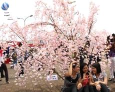 Rendez-vous en mars pour la Fête du cerisier et de labricotier de Yên Tu