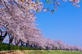 Des cerisiers pour resserrer lamitié Vietnam-Japon