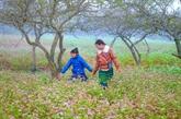 Môc Châu en saison des fleurs