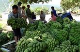 Les agriculteurs frontaliers de Huôi Luông misent sur la bananiculture