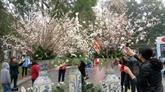 La fête des cerisiers en fleurs au cœur de Hanoï