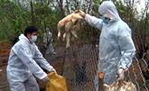 Des localités renforcent les mesures de lutte contre la grippe aviaire chez lhomme