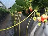 La fraise japonaise simplante à Môc Châu
