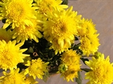 Le chrysanthème des fleuristes