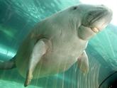 Nouvelle-Calédonie : les dugongs menacés de disparition par le braconnage