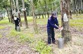 Renforcement de la culture durable des hévéas