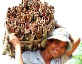 Quang Ngai : exportations annuelles de 400 tonnes de cannelle de Trà Bông