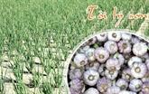 L'ail de Ly Son figure dans le Top 10 des spécialités connues du Vietnam