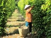 Les exportations de poivre en hausse