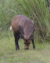 La province de Dông Nai déterminée à protéger des doucs à pattes noires