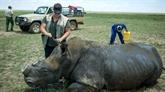 Afrique du Sud : la justice autorise des enchères de cornes de rhinocéros
