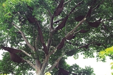 Un arbre à ruches à Diên Biên