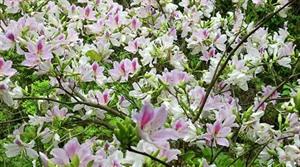 Diên Biên se prépare pour la fête des fleurs de bauhinia