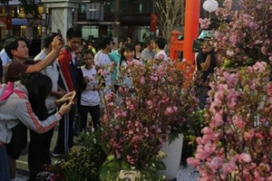 Première fête des fleurs de cerisiers de Dà Lat en février prochain