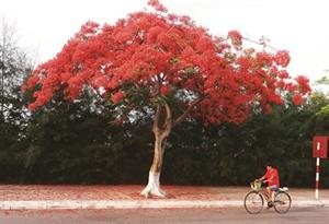 Hai Phong, la ville des flamboyants