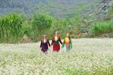 À partir du mois d'octobre, les sarrasins (tam giac mach) en fleurs remplacent les champs de riz jaunes et ce pendant près d'un mois. Il s'agit de la fleur typique de cette haute région du Nord et la plus cultivée dans la province de Hà Giang. Elle change de couleur, passant du blanc au rouge foncé, mais aussi par des nuances de rose clair et de violet. Les touristes ont en ce moment la chance d'admirer ce site pittoresque. Thu Huong/CVN