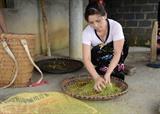 Entre septembre et octobre, les rizières de Muong Lo et celles en terrasse de Mù Cang Chai (Yên Bai) se teintent tout en jaune. Des habitants de la commune de Tu Lê, du district de Van Chân dans la province de Yên Bai (Nord), commencent à récolter le jeune riz gluant pour produire le futur Côm. Thu Huong/CVN