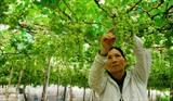 La province de Ninh Thuân (Centre méridional) possède 1.260 ha de vignes d'un rendement annuel de 30.000 tonnes de raisins et de 230.000 litres de vin. Photo : Manh Linh/VNA/CVN