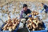 Des agriculteurs récoltent des racines de lotus dans un étang du village de Dahetao, à Jimo, dans la province chinoise du Shandong (Est). Photo : Xinhua/VNA/CVN