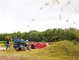La province de Tiên Giang (delta du Mékong) a récolté depuis début décembre le riz de la campagne d'automne-hiver, soit une production de près de 1,2 million de tonnes. Photo : VNA/CVN