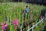 Bùi Nguon Hoàng, un agriculteur domicilié dans l'arrondissement de Thu Duc, à Hô Chi Minh-Ville, a 14 ans d'expériences dans la culture d'orchidées Mokara. Il lance sur le marché environ 1.200 tiges d'orchidées par mois. Photo : Manh Linh/VNA/CVN
