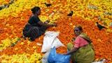 Les femmes indiennes ramassent les fleurs de calendula pour faire des guirlandes. Ces calendula ont été trouvés dans un site de décharge, à proximité d'un marché aux fleurs à Mumbai, en Inde. Photo : EPA/VNA/CVN