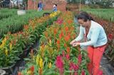 À l'approche du Têt Dinh Dâu (Nouvel An lunaire du Coq), les floriculteurs de la ville de Dà Nang (Centre) sont très occupés. Leur objectif : que leurs fleurs éclosent précisément pour le Têt. Photo : Dinh Van Nhiêu/VNA/CVN