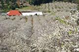 Des pruniers qui recouvrent les flancs des montagnes du Tây Bac (région Nord-Ouest) se teintent de blanc, annonçant l'arrivée du printemps.   Photo : Công Luât/VNA/CVN