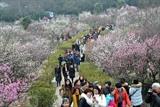 La fête des fleurs de prunier 2017 tenue récemment dans la ville de Nanning, province de Jiangsu, en Chine, attire un grand nombre de touristes. Photo : Xinhua/VNA/CVN