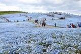 Une véritable colline de fleurs bleues fait le charme unique du parc Hitachi Seaside au sein de la préfecture d'Ibaraki, au nord-est de Tokyo. Photo : Kyodo/VNA/CVN