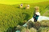 Les paysans du district de Diên Biên, province éponyme du Nord, ont récolté plus de 60% de la superficie rizière de la campagne hiver-printemps 2017, soit un rendement de plus de 6 tonnes par hectare. Photo : Tuân Anh/VNA/CVN