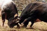 Turquie : les taureaux au secours de la ville d'Artvin