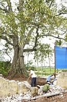 Hanoi : les arbres séculaires, aussi des patrimoines