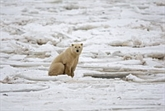 Il est encore temps de sauver les ours polaires