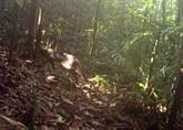 Un chat sauvage extrêmement rare repéré à Bornéo en Malaisie
