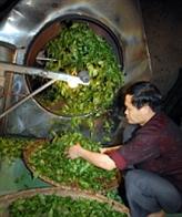 La production aux normes VietGAP, la tasse de thé de Thai Nguyên