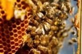 Apiculture : l'Europe met en garde contre la mortalité des abeilles