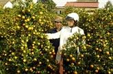Hausse du prix des pêchers et kumquats à l'approche du Têt