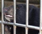 Tortues rares et ours noirs d'Asie retrouvent la liberté