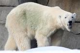 Le WWF inquiet pour l'ours blanc, menacé par le réchauffement de l'Arctique