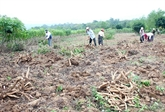 La FAO souligne le potentiel considérable du manioc