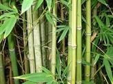 Le bambou épineux