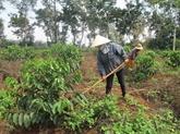 Caféiculture: 19.000 agriculteurs assistés pour rajeunir leurs plantations