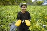 Les melons-voitures, dernier né de Cân Tho