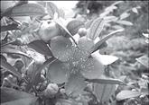 Le myrte tomenteux